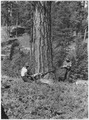 Power saw felling of a tree marked for cutting by the foreter. One of the men operating the electrically powered... - NARA - 298682.tif