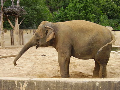 Elephant in Prague Zoo