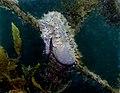 Pregnant male White's Seahorse-Hippocampus whitei (16175153524).jpg