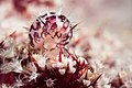 Primovula roseomaculata (16393206941).jpg