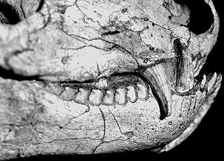 <i>Progalesaurus</i> Genus of cynodonts
