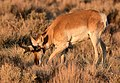 Pronghorn at Seedskadee National Wildlife Refuge (51135207720).jpg