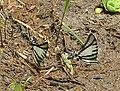 Protographium agesilaus - Flickr - Dick Culbert.jpg