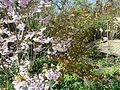 Prunus ^ Acer japonicum vitifolium - Flickr - peganum.jpg