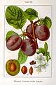 Prunus domestica Sturm08063.jpg