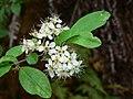 Prunus emarginata 43564.JPG