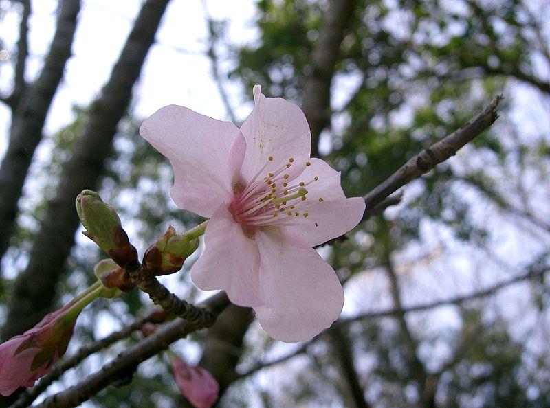 fleur rose du cerisier du Japon