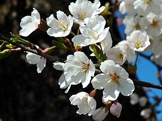 Prunus serrulata - Image: Prunus serrulata 2005 spring 018
