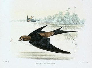 Grey-rumped swallow species of bird