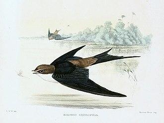 Grey-rumped swallow - Image: Pseudhirundo griseopyga Sharpe