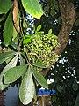 PseudopanaxLessonii-003.jpg