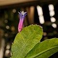 Pseudorhipsalis amazonica.jpg