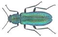 Psilothrix viridicoeruleus (Geoffroy in Fourcroy, 1785) (16774575602).png