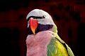 Psittacula alexandri -Dehiwala Zoo -upper body-8a.jpg