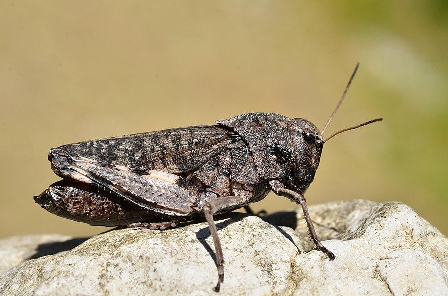 Psophus stridulus female