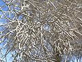 Psorothamnus spinosus closer.jpg