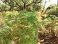 Pteridium aquilinum ssp. capense.jpg