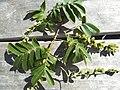 Pterocarya fraxinifolia 4.jpg