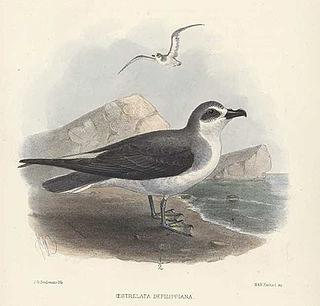 De Filippis petrel species of bird