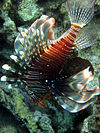Pterois miles red sea