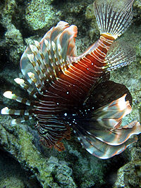 Pterois miles red sea.JPG