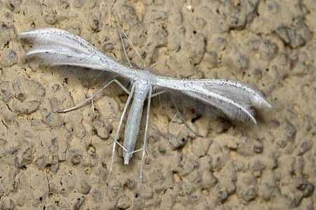 Pterophorus pentadactyla01.jpg