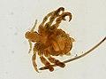 Pthirus pubis (YPM IZ 093620).jpeg