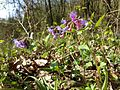 Pulmonaria officinalis (s. str.) sl2.jpg