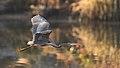 Purple Heron, Ardea purpurea, at Waterfall Estate, Gauteng, South Africa (35712863960).jpg