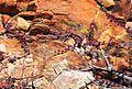 Purple Senecio radicans - Robertson karoo.jpg
