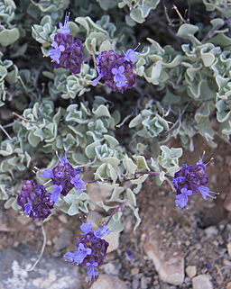 Purple sage Salvia dorii