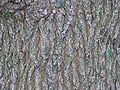 Purpleblow Maple Acer truncatum Bark 3264px.jpg