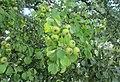 Pyrus pyraster fruits.jpg