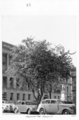 Queensland State Archives 4221 Bauhinia Tree George Street Brisbane City 1949.png