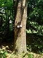 Quercia comune(Quercus)varietà di specie arboree presente nella Baita Pescate del Parco del Monte Barro.jpg