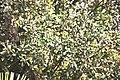 Quercus ilex-3391.jpg