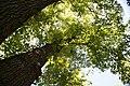 Quercus prinus 18zz.jpg