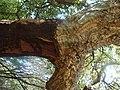 Quercus suber.002 - Monfrague.JPG