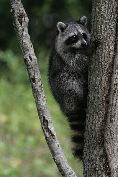 File:Racoon clinging to a tree.JPG