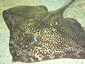Raja clavata aquarium mareis.JPG