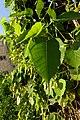 Ramat Gan Leaves 12 2015 (4).JPG