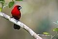 Ramphocelus nigrogularis, Masked Crimson Tanager.jpg