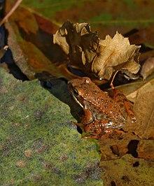 Grenouille mugissante dans GRENOUILLE 220px-Rana-iberica-La-Vera-20071111_8