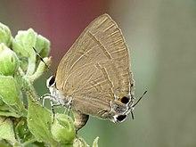 Butterfly illustration public domain