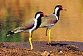 Red-Wattled Lapwings (Vanellus indicus) Photograph By Shantanu Kuveskar.jpg