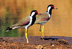 240px red wattled lapwings (vanellus indicus) photograph by shantanu kuveskar