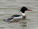 Red-breasted Merganser male RWD2.jpg