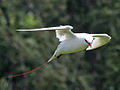 Red-tailed Tropicbird RWD3.jpg