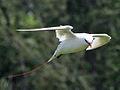 Red-tailed Tropicbird RWD3.jpg