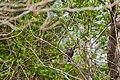 Red-winged blackbird (33632238545).jpg